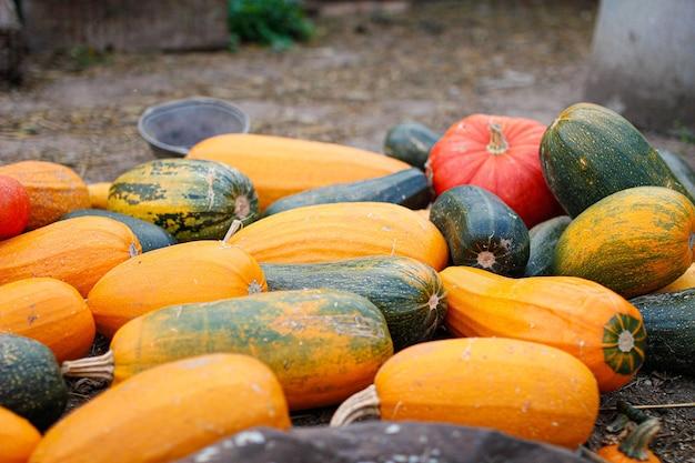 Oogst grote pompoenen en watermeloenen op landbouwgrond