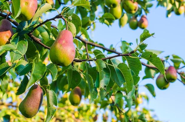 Oogst in de zomer peren die in de boom in de tuin slapen