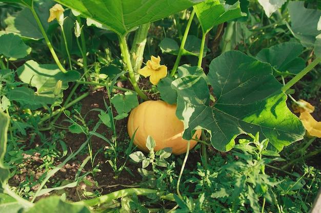 Oogst: pompoenclose-up. plantaardige producten zijn klaar voor export. import van seizoensgoederen.