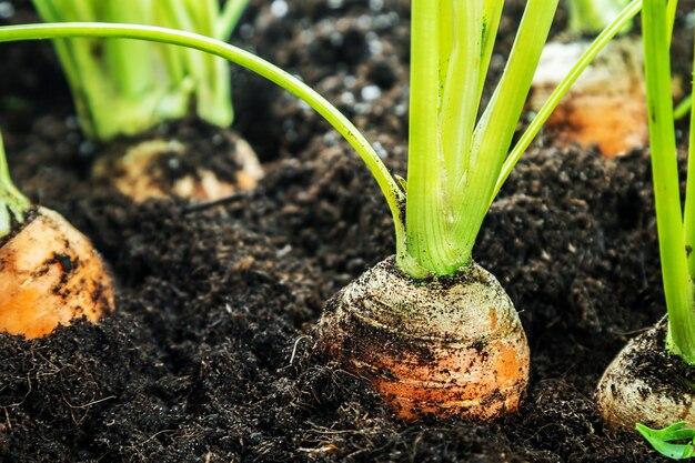 Oogst rijpe wortelen die op de grond liggen