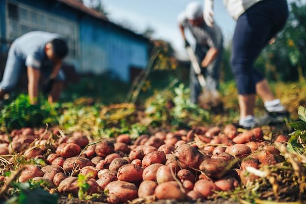 Oogst tijd . boer oogst verse biologische aardappelen uit de bodem