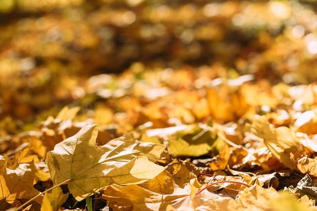 Oogst tijd. val de natuur. gele esdoornbladeren op de grond.