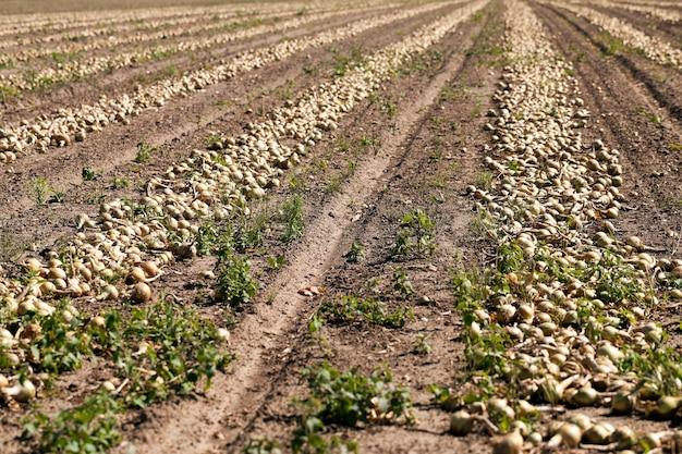 Oogst uienveld - landbouwgebied waar oogsten en uien, close-up