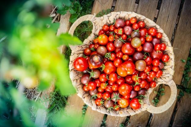 Oogst van cherrytomaatjes in een mand