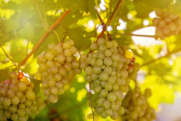 Oogst van groene en blauwe druiven. velden wijngaarden rijpen druiven voor wijn