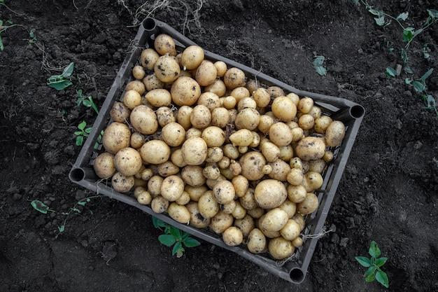 Oogst van jonge aardappelen. aardappelen in een plastic doos, staande op de grond.