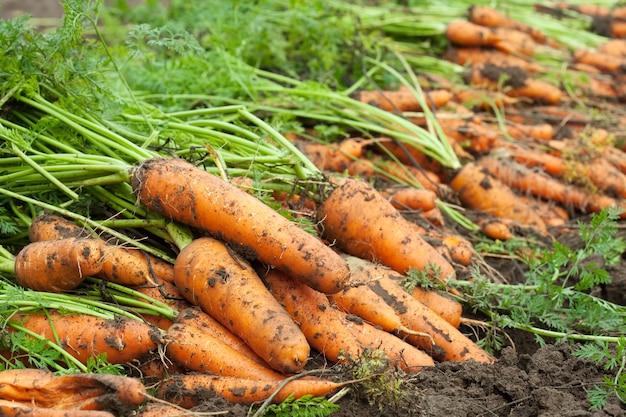 Oogst van wortelen