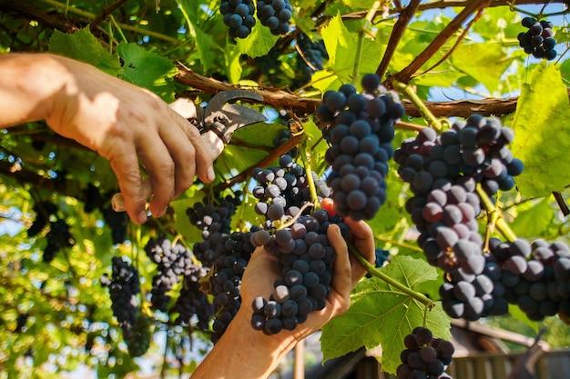 Oogsten in de wijngaarden. de hand van een man met een snoeischaar snijdt een tros zwarte wijndruiven van de wijnstok.
