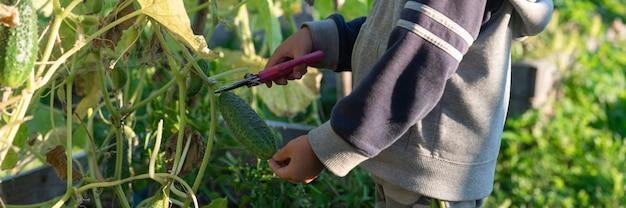 Oogsten komkommers plukken in de herfst. komkommer in de handen van een kleine jongen die oogst met een schaar.