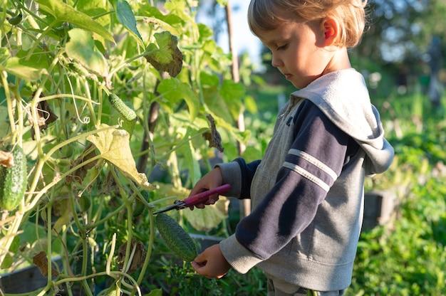 Oogsten komkommers plukken in de herfst.