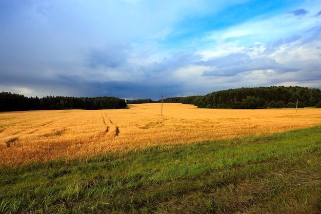 Oogsten van granen landbouwgebied waar oogst rijpe granen landbouw