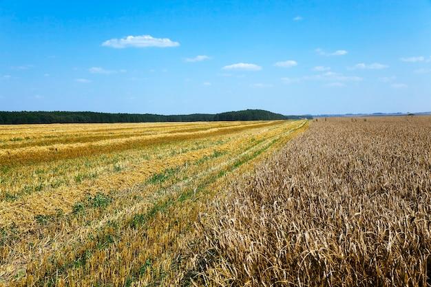 Oogsten van granen landbouwgebied waar rijpe granen worden geoogst