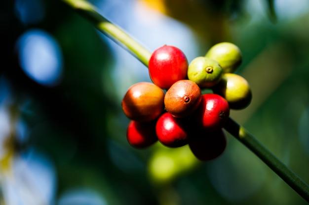 Oogsten van koffiebessen door de landbouw. koffiebonen rijpen aan de boom in het noorden van thailand