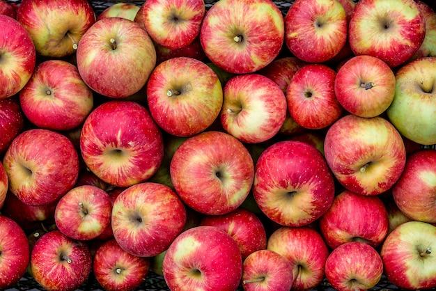 Oogsten van rode appels in zwarte plastic doos.