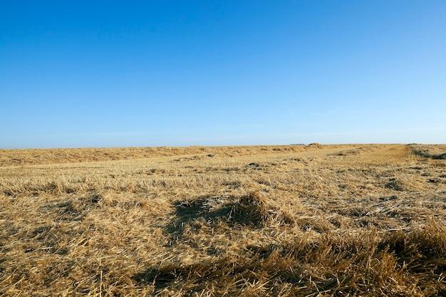 Oogsten van tarwe, granen - landbouwgebied waarop de tarweoogst, zomer,