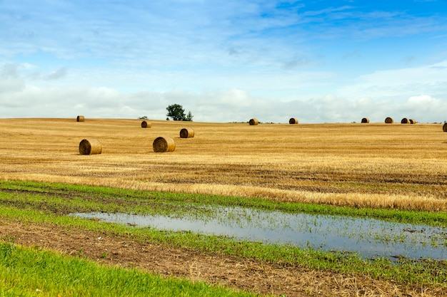 Oogsten van tarwe in het herfstseizoen. op de grond liggen stapels stro, en na de laatste regen zijn er verschillende plassen