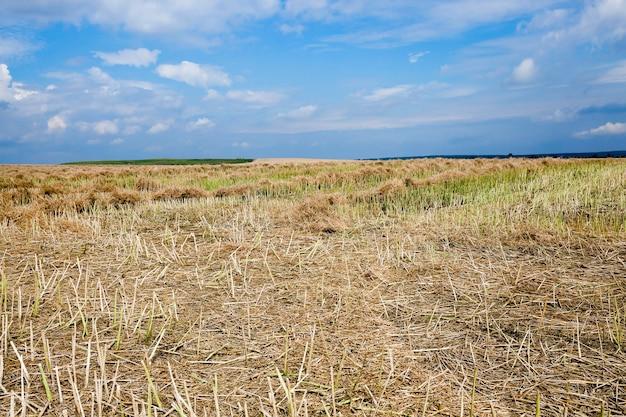 Oogsten van verkrachting - een landbouwveld, dat de oogst van verkrachting uitvoerde, zomer,