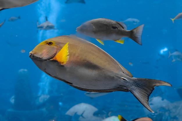 Oogstreep doktersvis (acanthurus xanthopterus) of geelvintonijn doktersvis (acanthurus dussumieri) in het aquarium atlantis, sanya stad, eiland hainan, china.