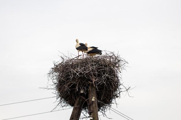 Ooievaar die bij warm weer in zijn nest staat.