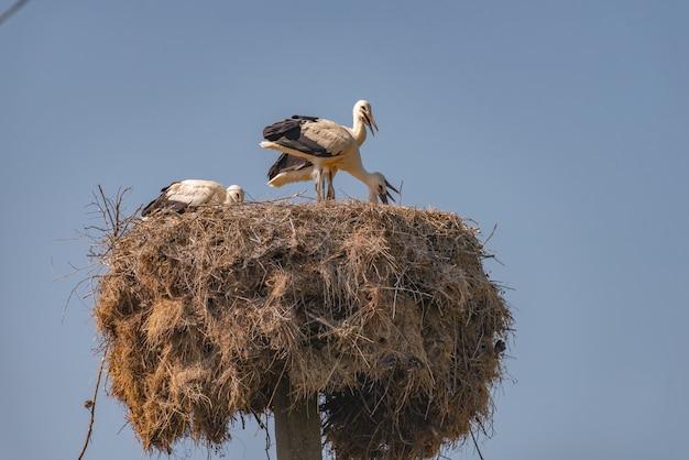 Ooievaar die zich in zijn nest bevindt. ciconia ciconia.