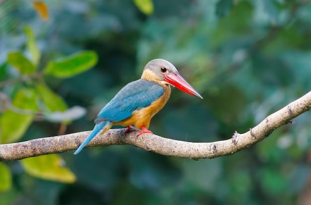 Ooievaar-gefactureerde ijsvogel pelargopsis capensis mooie vogels van thailand
