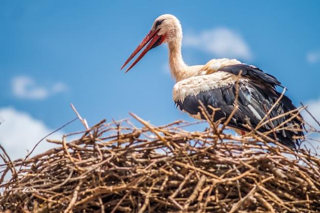 Ooievaar in het nest.