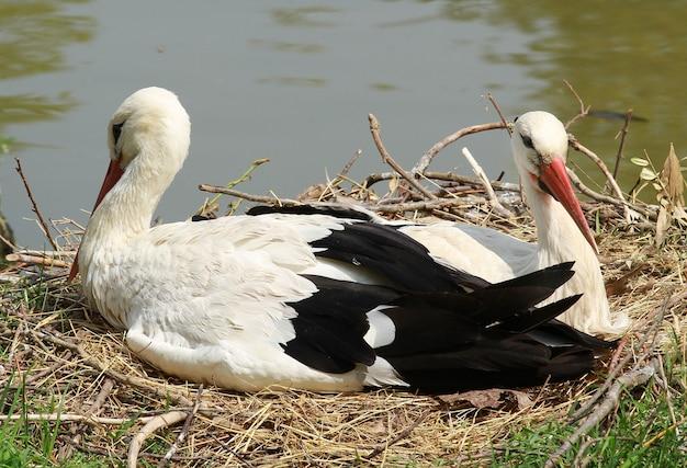 Ooievaar in het nest