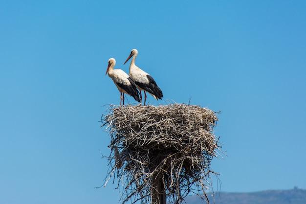Ooievaars in een groot nest dat van takken op een elektriciteitspool wordt gemaakt in algarve, portugal