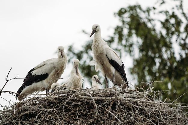 Ooievaars in een nest dat op een boom wordt gevestigd