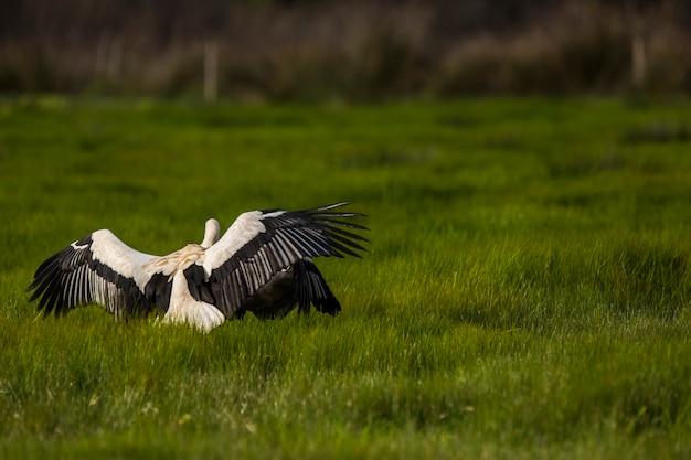 Ooievaars in het voorjaar in het natuurreservaat aiguamolls de l'emporda, spanje