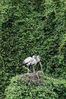 Ooievaars op een weelderig nest dat met groen wordt omringd