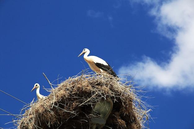 Ooievaarsvogel in het nest op een paal