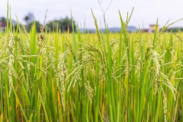 Oor van rijst of rijstveld
