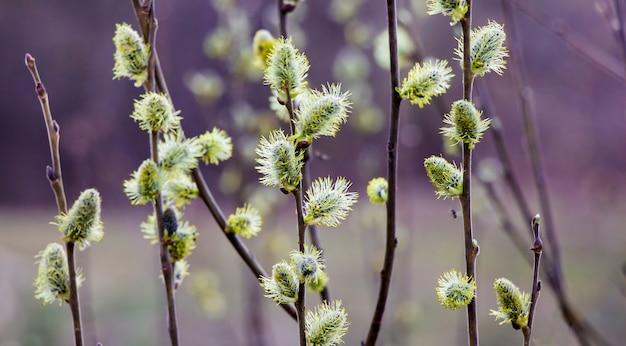 Oorbellen van wilg op een donkere violette achtergrond in het vroege voorjaar