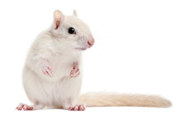 Oost-chipmunk, tamias striatus permanent ionen wit geïsoleerd