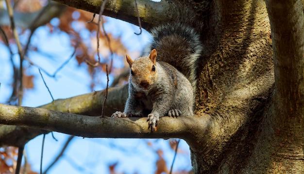 Oost-grijze eekhoorn