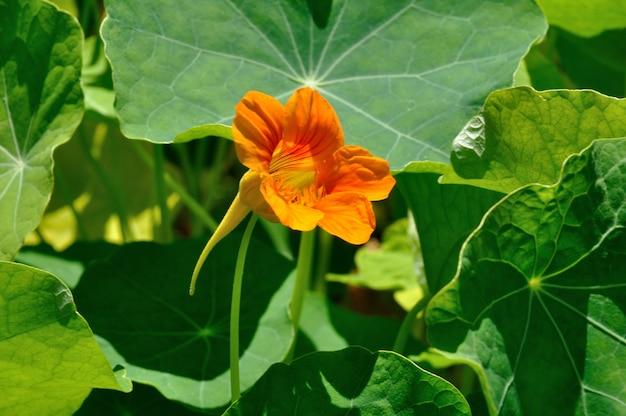 Oost-indische kers bloemen in een tuin