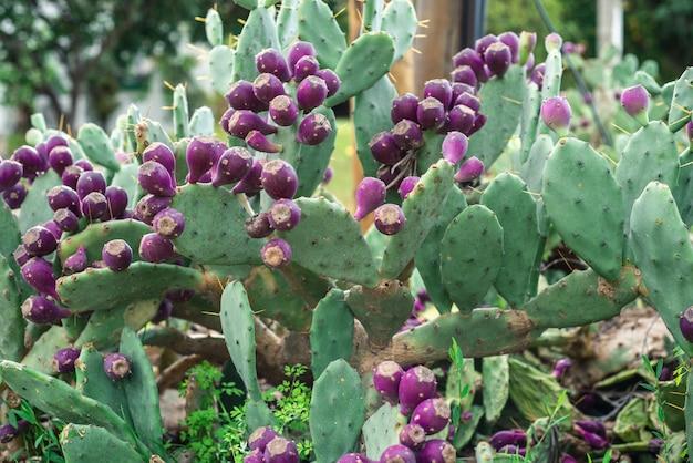 Oostelijke cactusvijg cactus