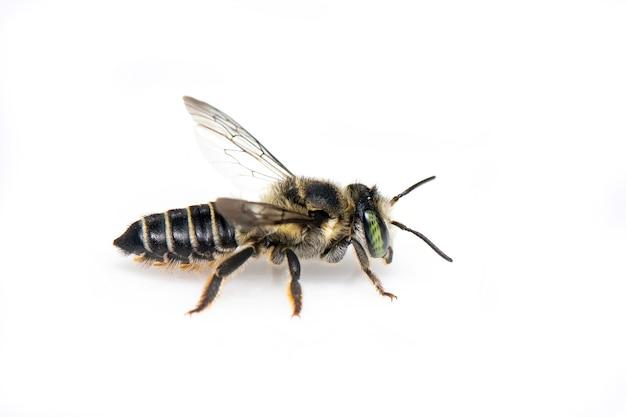 Oostelijke cucurbit-bij of langhoornige bij (peponapis-pruinosa) geïsoleerd. dier. insect.