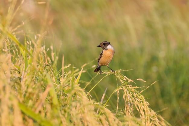 Oostelijke stonechat saxicola stejnegeri mooie mannelijke vogels van thailand zitstokken op het rijstveld