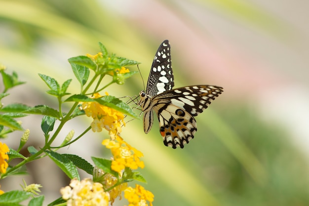 Oostelijke tiger swallowtail butterfly gevonden in noordoost-azië.