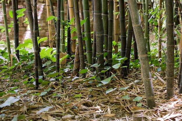 Oosters bamboebos bij daglicht