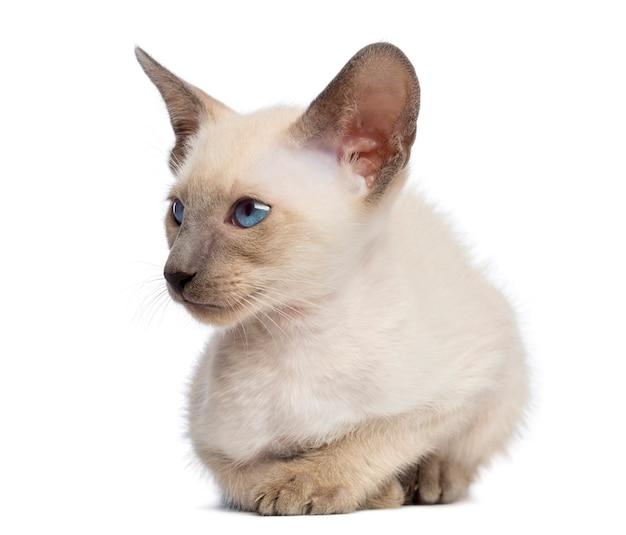 Oosters korthaar kitten, 9 weken oud, liggend en wegkijkend