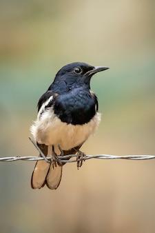 Oosterse ekster robin op het prikkeldraad op aardachtergrond. vogels. dieren.