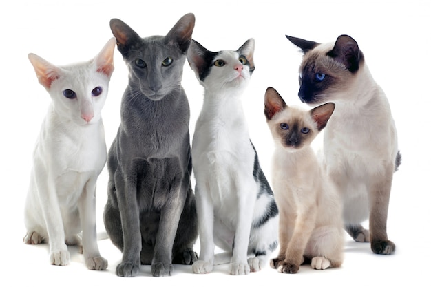 Oosterse en siamese katten