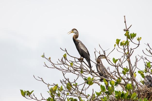 Oosterse heidelibel of snakebird vogel
