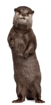Oosterse kleine-klauwde otter, amblonyx cinereus die zich op geïsoleerd wit bevindt