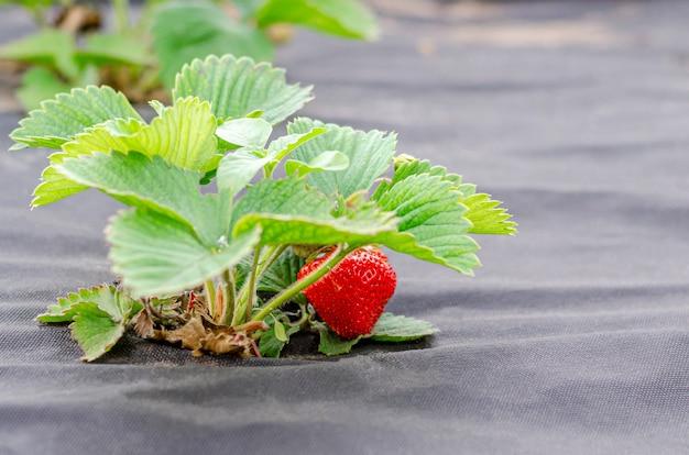 Op agrofibre worden aardbeistruiken met rijpe bessen geplant