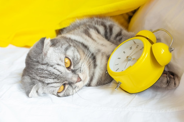 Op de bank ligt een grijs met zwart gestreepte schotse vouwkat, in haar poten zit een gele wekker.