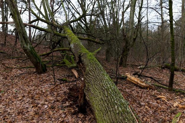 Op de grond gevallen gebladerte in het esdoornbos. het herfstseizoen, bewolkt weer en slechte verlichting